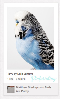 A pin of a pretty blue parakeet.